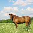 The horse which is grazed on a meadow — Stock Photo #1305084