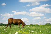 The horse which is grazed on a meadow — Stock Photo