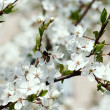 Stock Photo: Spring cherry blossoms.
