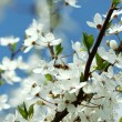 Spring cherry blossoms. — Stock Photo #1963848