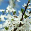 Spring cherry blossoms. - Stock Photo