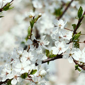 Spring cherry blossoms. — Stock Photo
