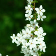 Spring cherry blossoms. — Stock Photo #1971454
