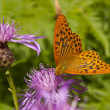 butterfly cranberry fritillary — Stock Photo