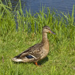 Wild duck by the Pond — Foto Stock