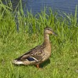 Wild duck by the Pond - Stock Photo