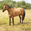 Light Chestnut Horse — Stockfoto