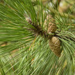 Pine branch with cones, close-up — Stock Photo