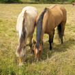 Two chestnut horses in a field - Stock Photo