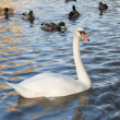 A swan among ducks — Stock Photo