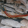 Royalty-Free Stock Photo: Giant Desert Centipede 1