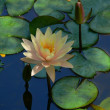 Waterlily 2 — Stock Photo #1306745