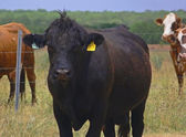 Cattle 1 — Stock Photo