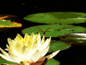 Dragonfly and Waterlily 3 — Stock Photo