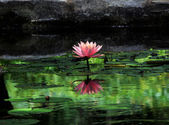 Waterlily 5 — Stock Photo