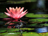 Turtle and Waterlily 1 — Stock Photo