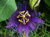 Passion Flower 1 — Stock Photo