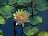 Waterlily 2 — Stock Photo