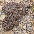 Royalty-Free Stock Photo: Western Diamondback Rattlesnakes 2