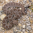 Westerse diamondback ratelslangen 2 — Stockfoto