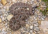 Western Diamondback Rattlesnakes 2 — Stock Photo