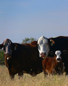 Cattle 12 — Stock Photo