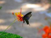 Swallowtail 2 — Stock Photo