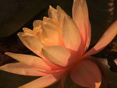 Waterlily 7 — Stock Photo