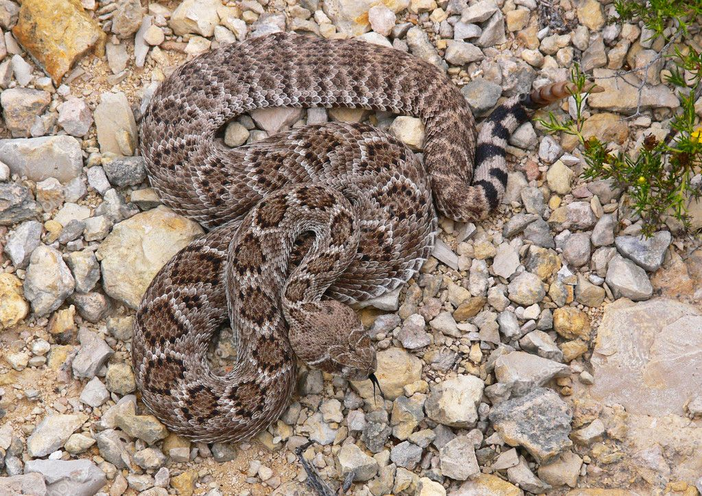 A closeup photograph of a western diamondback rattlesnake. — Stock Photo #1324274