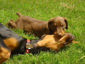 Dogs Playing in Grass — Stock Photo