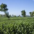 Stock Photo: Tobacco plantation