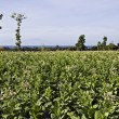 Tobacco plantation — Stock Photo #1358552
