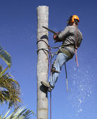 Palm tree lopping — 图库照片