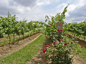 Roses and Vines — Stock Photo