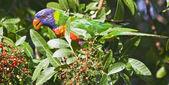 Lorichetto arcobaleno — Foto Stock