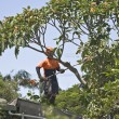 Tree lopping - Stock Photo