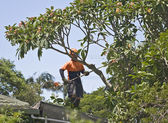 Tree lopping — Stock Photo