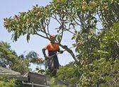 élagage des arbres — Photo