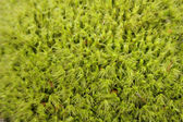 Green moss background with soft focus — Stock Photo
