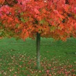 Red autumnal tree — Stock Photo #1342724
