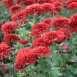 Red chrysanthemum background — Stock Photo