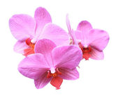 Three pink orchid flowers — Stock Photo
