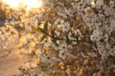 Cherry in blossom — Stock Photo