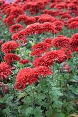 Red chrysanthemum background — Stock Photo