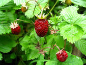 Ripe wild strawberry — Stock Photo
