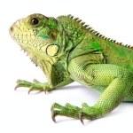 Iguana — Stock Photo #1386308