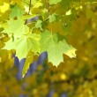 Yellow autumn leaves on a tree — Stock Photo #1382508