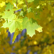 Stock Photo: Yellow autumn leaves on a tree