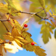 Yellow autumn leaves and mountain ash — Zdjęcie stockowe #1409209