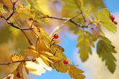 Yellow autumn leaves and mountain ash — Stockfoto